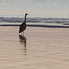 Great Blue Heron at Island View Beach