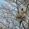 Great Blue Herons on it's nest at Beacon Hill Park