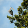 Great Blue Herons building nests at Beacon Hill Park