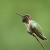Anna's Hummingbird protecting his feeder