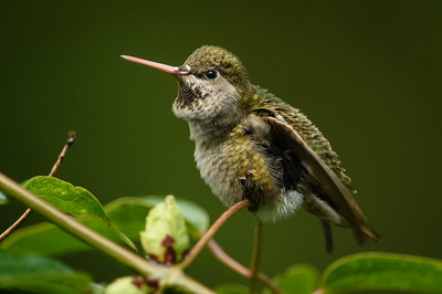 Pink Nosed Anna's Hummingbird putting on a show