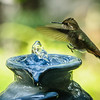 Rufous Hummingbird checking out the fountain