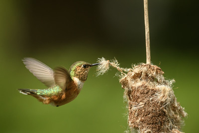 Rufous Hummingbird gathering material for her nest.