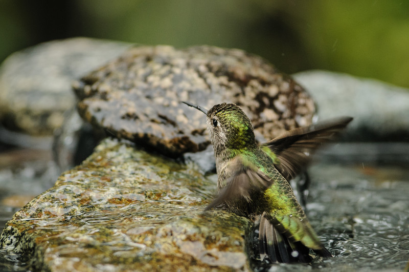 Anna's Hummingbird having a bath in the fountain