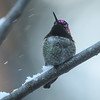 Anna's Hummingbird with a pink nose