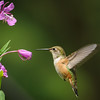 Rufous Hummingbird feeding at Fireweed