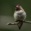 Anna's Hummingbird - a cold day was spent guarding his 4 feeders from 3 other hummers.