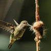 Anna's Hummingbird gathering bulrush fluff for her nest