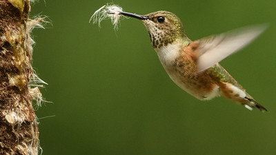 Rufous Hummingbird collection Bulrush fluff for her nest.  They are back a bit early this year.