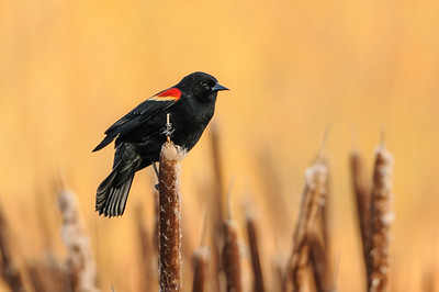 Blackbirds, Meadowlarks,Cowbirds and Starlings