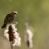 Red-winged Blackbird(female)