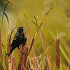 Red-winged Blackbird - Leusistic