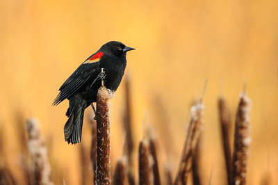Red-winged Blackbirds are starting to sing