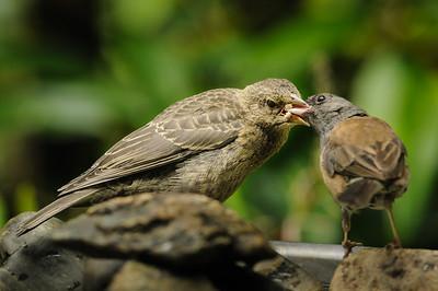 Poor Junco feeding the baby Cowbird