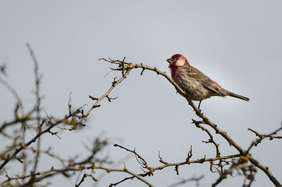 Leusistic House Finch