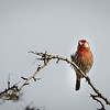 Leusistic House Finch