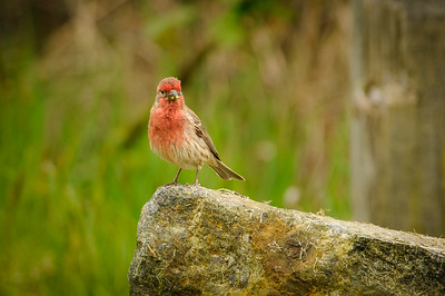 Finches and Crossbills
