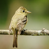 Pacific Flycatcher
