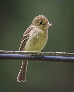 Pacific-sloped Flycatcher