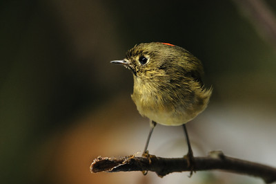 Ruby-crowned Kinglet showing us a little of that ruby crown