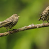 Pine Siskins - baby begging for food