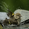 Pine Siskins bathing
