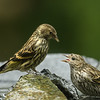 Pine Siskins bathing and not too keen on sharing