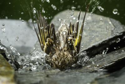 Pine Siskins bathing