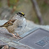 Golden-crowned Sparrow at Rithet's Bog