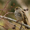 Yellow-crowned Sparrow