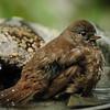 Fox Sparrow in the bird bath