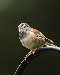 Sparrows, Juncoes and Towhees