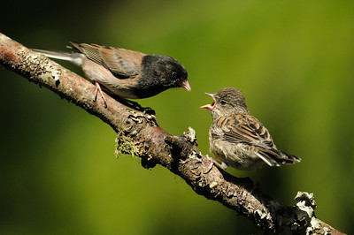 Dark-eyed Junco feeding his young