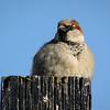 House Sparrow enjoying a lovely spring day along Victoria's Harbour walk