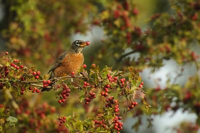 American Robin eating Hawthorn Berries