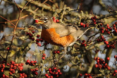 Robin eating Hawthorn Berries
