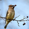 Cedar Waxwing eating Hawthorn berries at Rithet's Bog