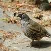 California Quail in my garden.