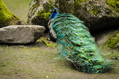 Peacocks are displaying at Beacon Hill Park