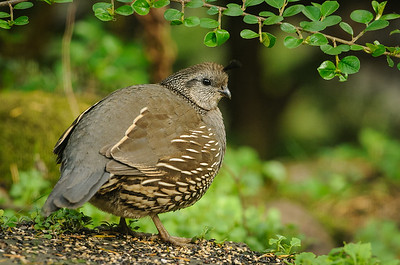 Quail and Groundbirds