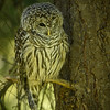 Barred Owl - spent the day snoozing in my backyard