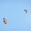 Resident Red-tailed Hawks