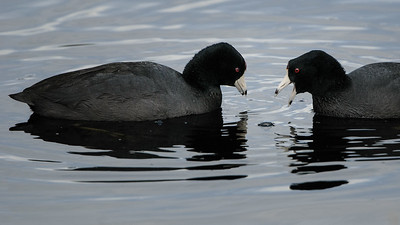 American Coots having quite a conversation