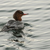 Commonn Merganser