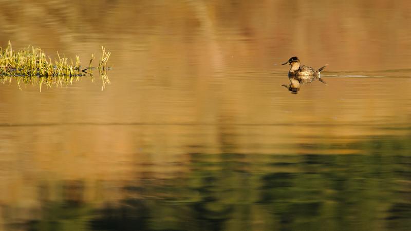 Swan Lake Reflections - a Ruddy Duck