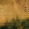 Swan Lake Reflections - a Ruddy Duck