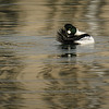 Common Goldeneye in the Inner Harbour