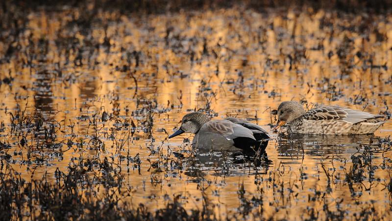 Gadwalls on a golden pond