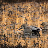 Gadwalls on a golden pond