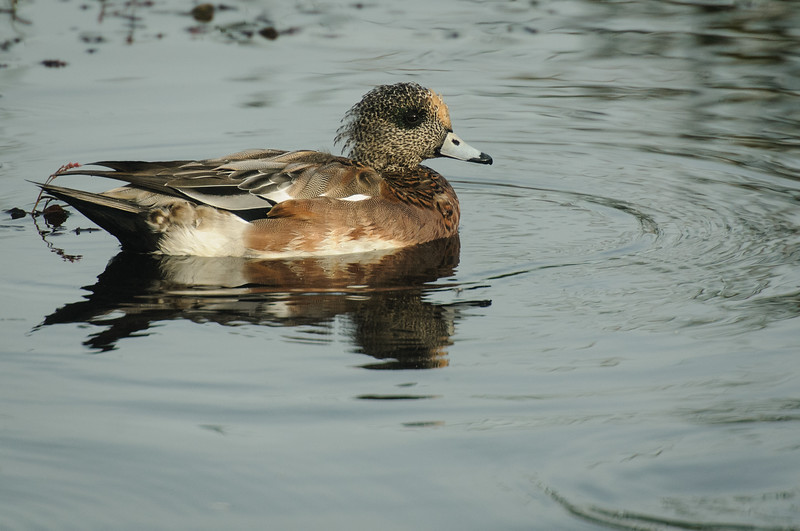 American Widgeon